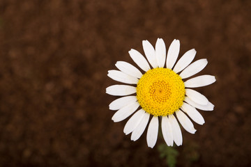 Daisy flower on brown