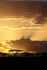 Fototapeta premium Afrykański zachód słońca z akacją