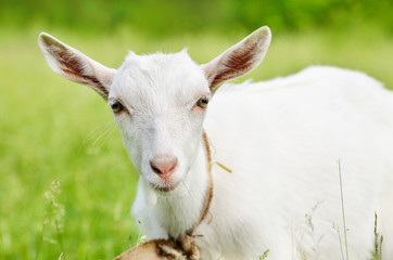Cute young goat
