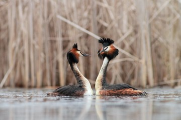 Great Crested Grebe Podiceps cristatus making love Wall mural