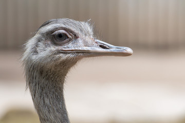 Isolated ostrich looking at you