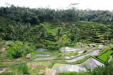 Fotobehang Indonesië Risaie vicino a Ubud sull'isola di Bali