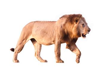 Löwe isoliert auf weiß