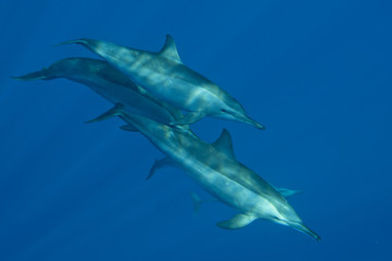 Dolphins swimming in the deep blue sea