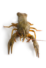 Alive crayfish isolated on white