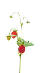 wild strawberry isolated