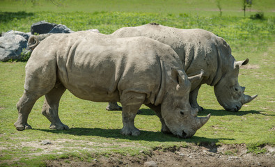 A couple of white Rhinoceros