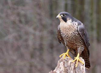 Perched Peregrine Falcon (Falco peregrinus) Wall mural