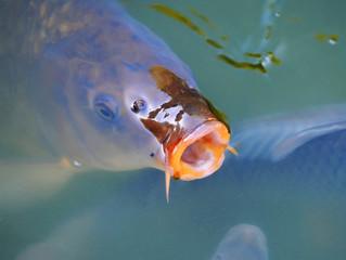Big Carp (Cyprinus Carpio) in a pond
