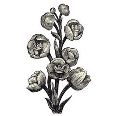 Orchid (Peristeria Elata)
