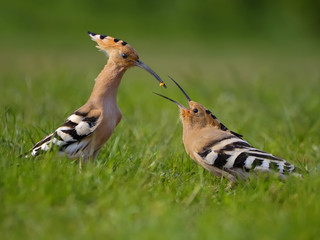 Hoopoe. Male fedding female.