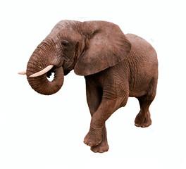 Fototapete - Elephant Isolated