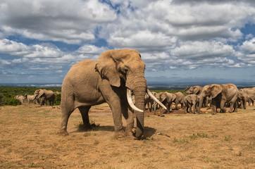 Elefanten Herde im Addo Elephant National Park in South Africa