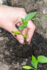 Plant a seedling of pepper