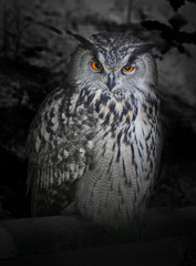 Wall Mural - The evil eyes in the night. ( Eagle Owl, Bubo bubo).