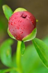 Close-up of bud of peony flower