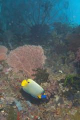 Emperor Angel Fish in Colorful underwater landscape of Papua
