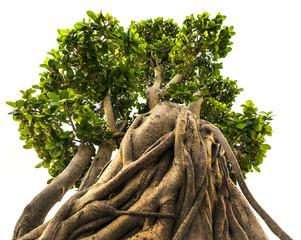 bonsai tree on a white background