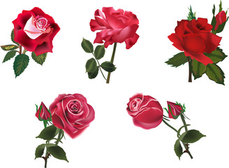 five isolated red roses collection