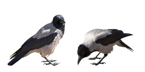 two grey crows isolated on white