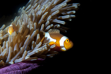 Clown fish in anemone on black background
