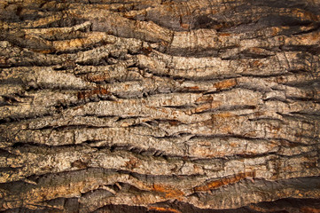 bark of an old oak