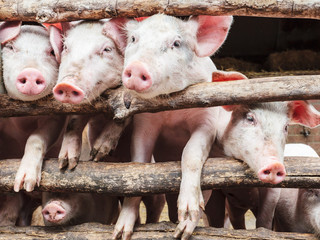 Curious young pigs in a stable