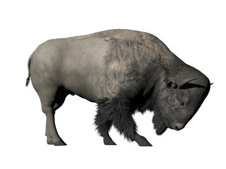 Bison head down - 3D render