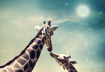 Canvas Prints Giraffe Giraffes in friendship or love concept image