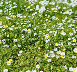 Chamomile in a grass close-up