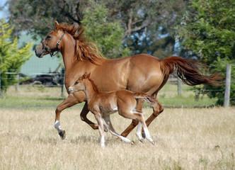 Wall Mural - Australian Stock Horses.