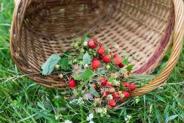 Fresh  wild strawberry