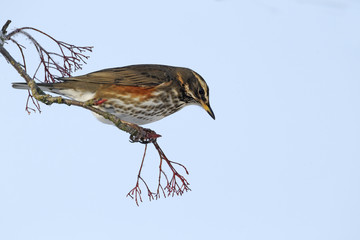 Fotoväggar - Redwing, Turdus iliacus,on rowan berries