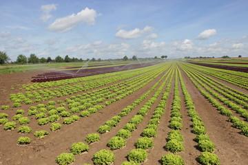 Feld von Salat in der Aufzucht 5