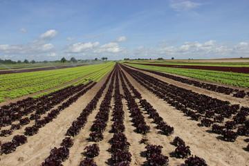 Feld von Salat in der Aufzucht 3
