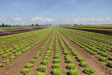 Feld von Salat in der Aufzucht 2