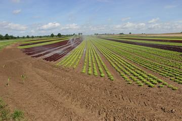 Feld von Salat in der Aufzucht 1