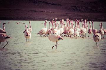 Wall Mural - Vintage Flamingos on lake in Andes, the southern part of Bolivia