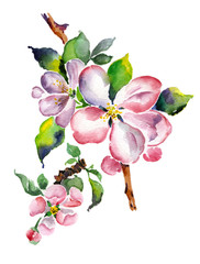 Watercolor blooming apple branch