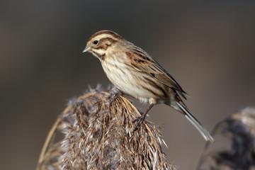 Fotoväggar - Reed bunting, Emberiza schoeniclus