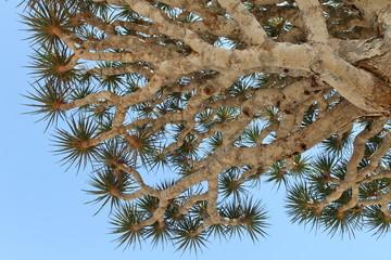 Spiky leaves of Dragon tree - Dracaena cinnabar