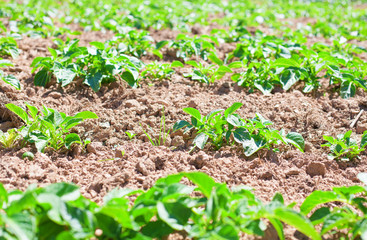 potatoes field closeup
