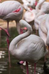 flamingos in Chiangmai Zoo, Thailand