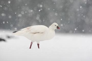 Fotoväggar - Snow goose, Anser caerulescens