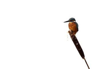 Fotoväggar - Kingfisher, Alcedo atthis,