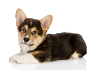 pembroke Welsh Corgi puppy. looking at camera. isolated on white