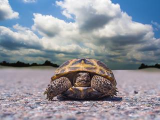 Tortoise traveler