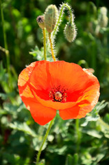 poppy flower and buds