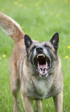 Snarling police dog showing teeth