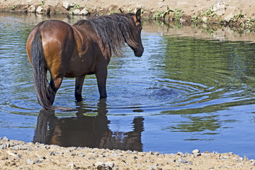 Wild mustang horse standing in the water of a watering hole